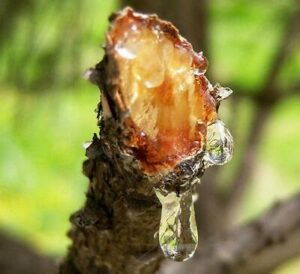 Champione Tree Resin