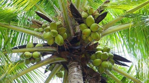 Coconut Cocos Nucifera