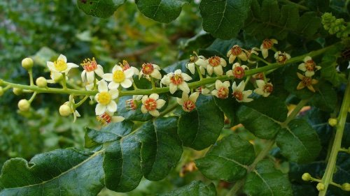 Frankincense Olibanum By Scott Zona from USA Boswellia sacra CC BY 2 0 httpscommons wikimedia orgwindex phpcurid5409339