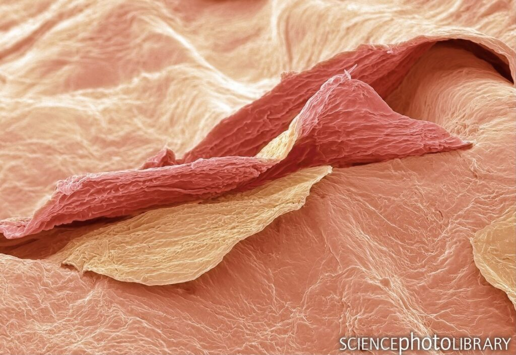 Skin under a microscope for ageless Skin