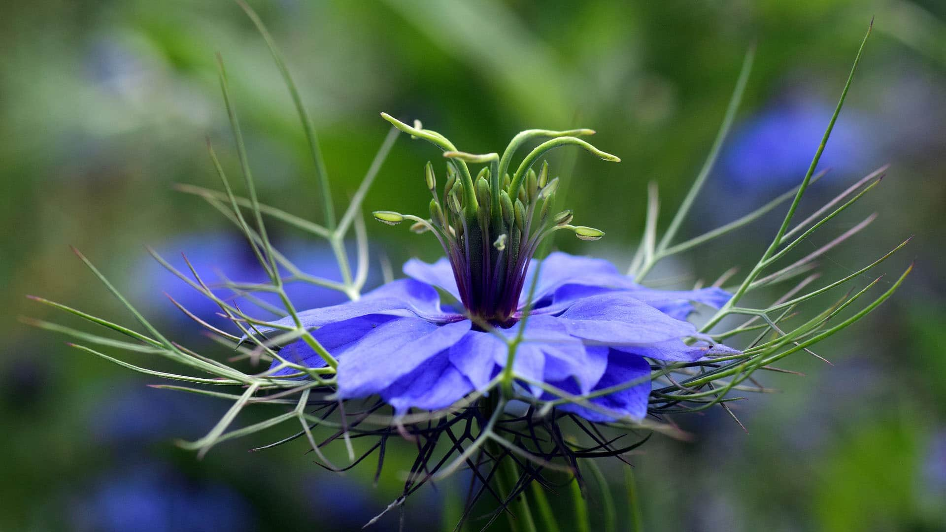 Blackseed (Nigella Sativa)