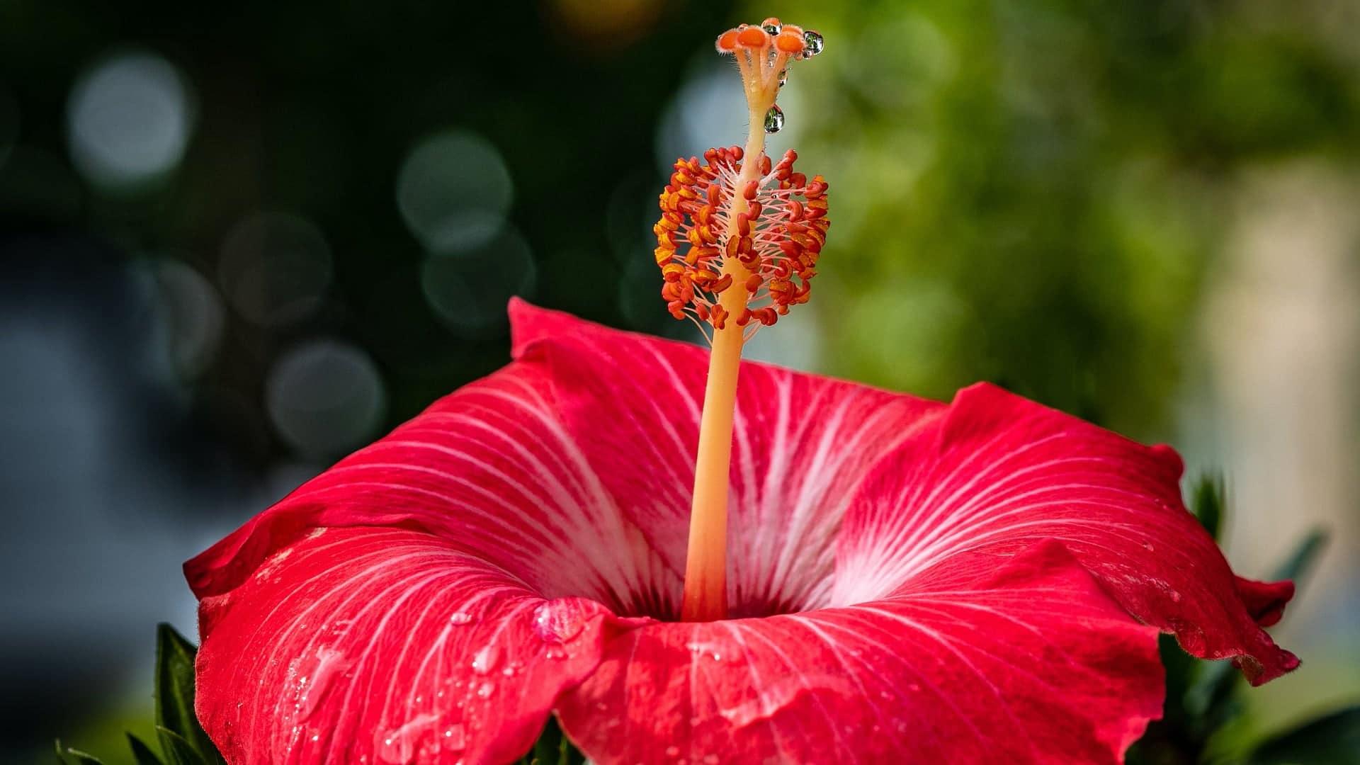 Chinese Hibiscus (Hibiscus Rosa-Sinensis)