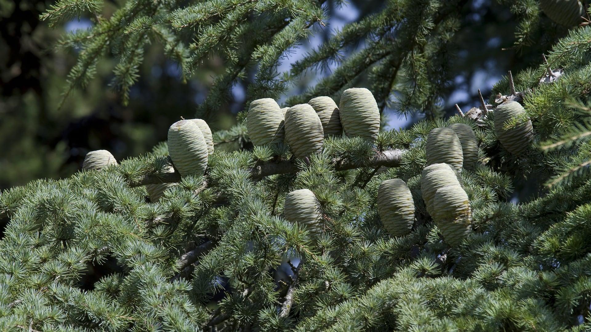 Cold Pressed Cedar Nut Oil