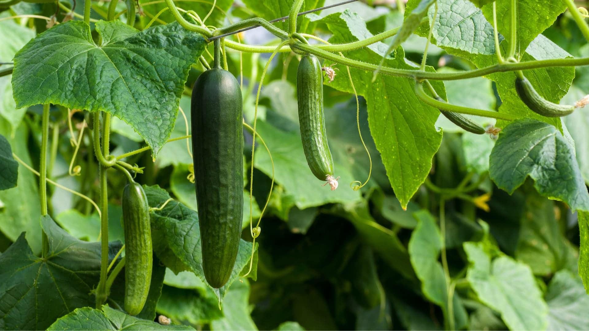 Cucumber (Cucumis Sativus)
