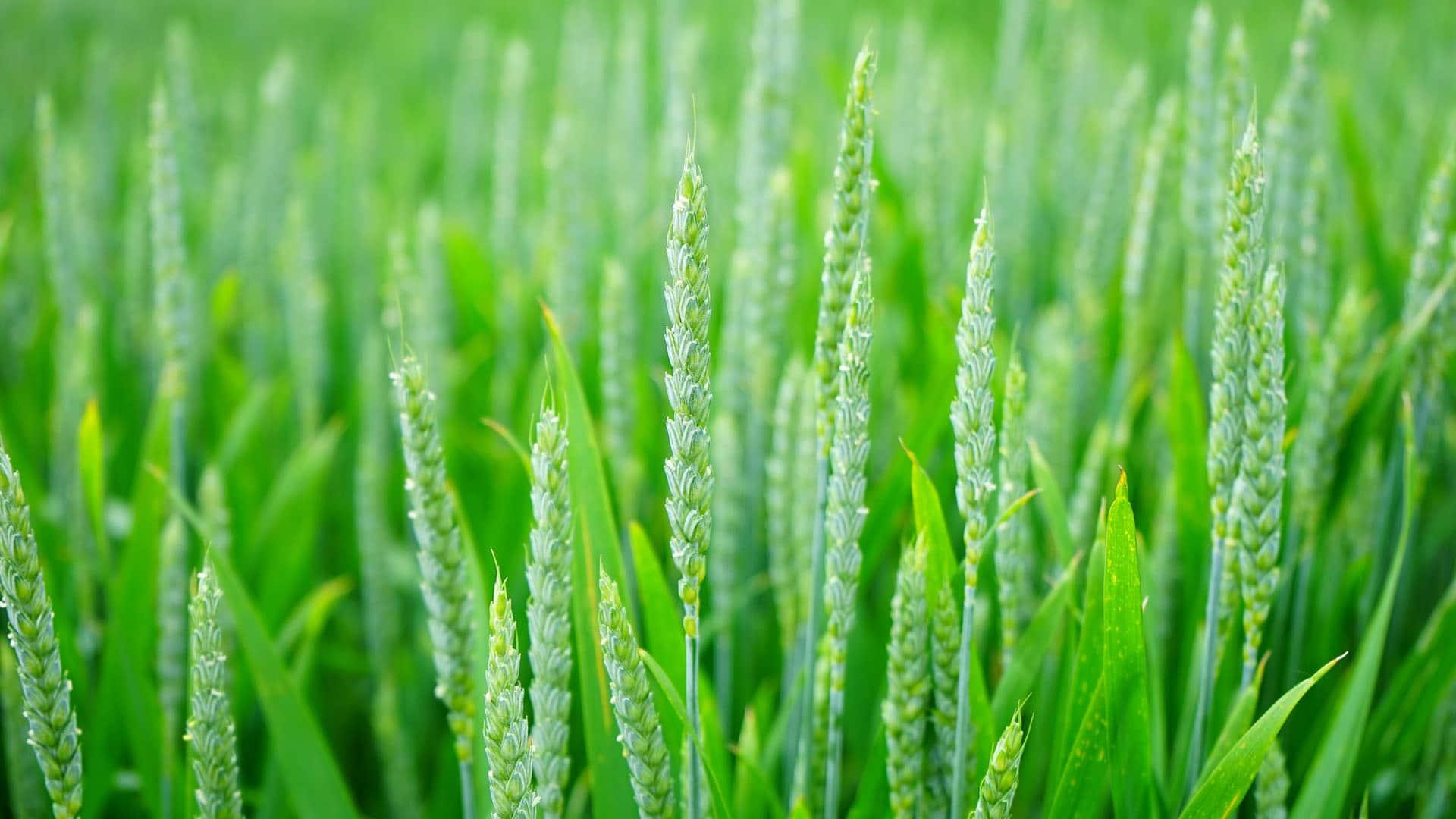 Wheatgrass (Thinopyrum Intermedium)