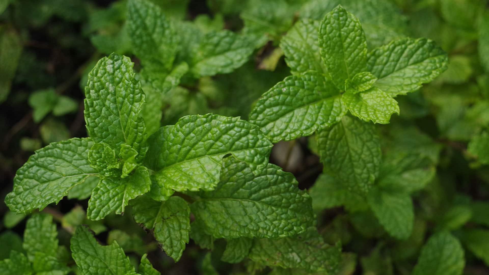 Mint (Mentha)