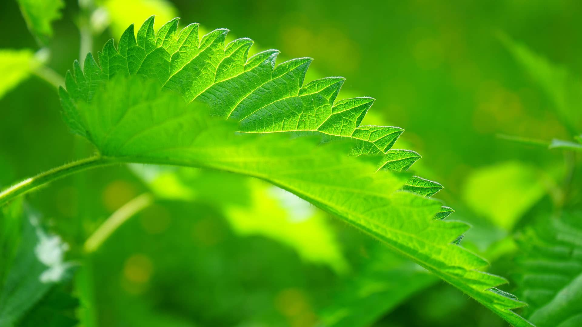 Nettle Leaf (Urtica Dioica)