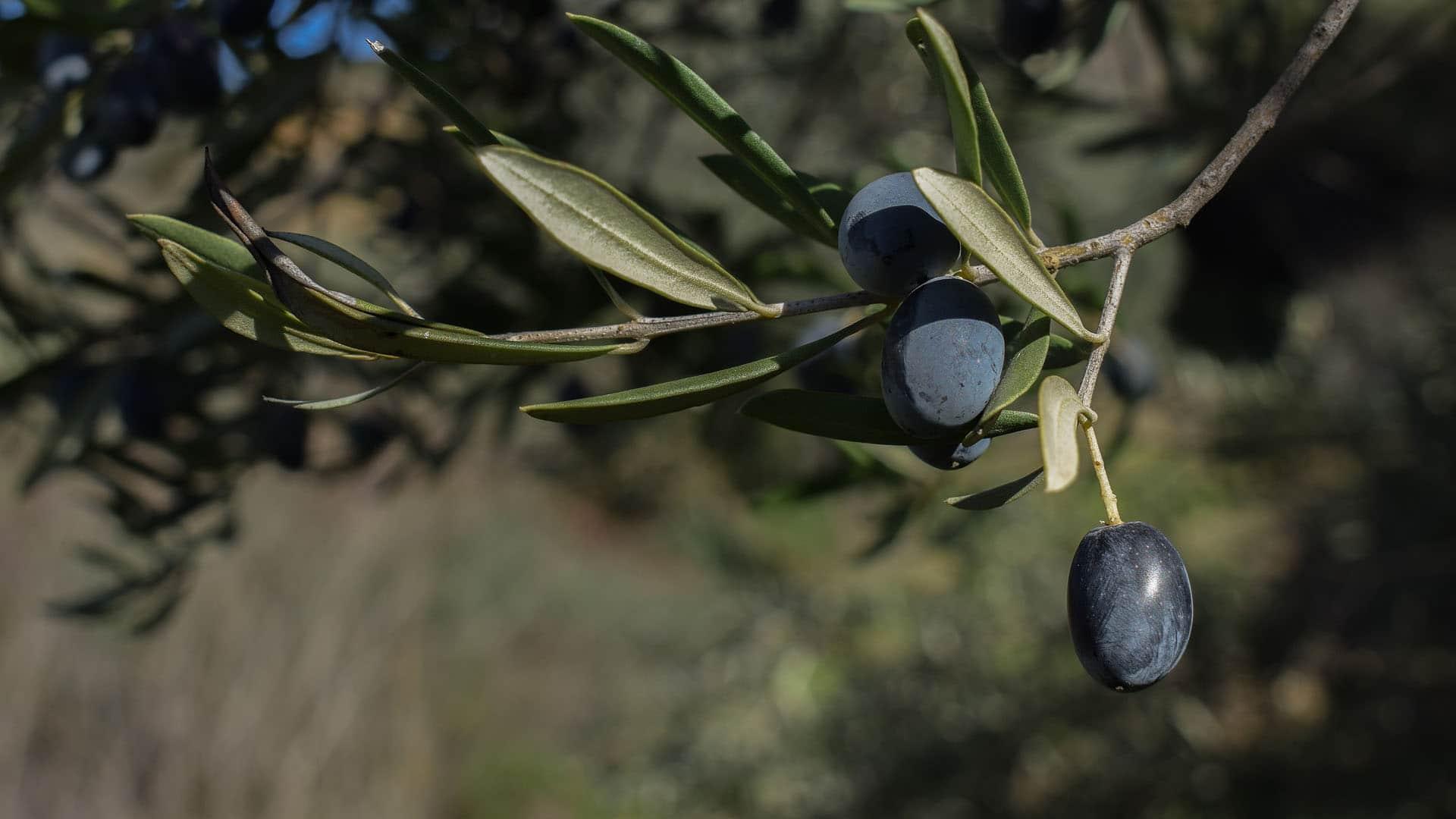 Olive Leaf (Olea Europaea)
