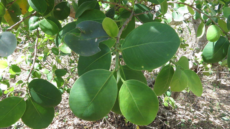 Red Sandalwood (Pterocarpus Santalinus)